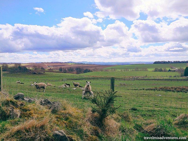 Agnelli-Pecore-Scozia