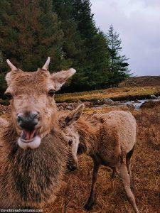 Cervi-Glencoe-Scozia