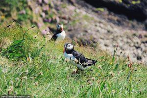 vedere-le-pulcinelle-di-mare-in-scozia-isola-di-staffa