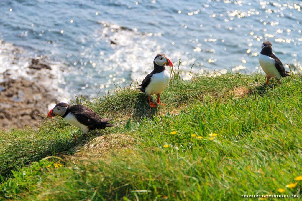 Pulcinelle di mare sull'Isola di Staffa